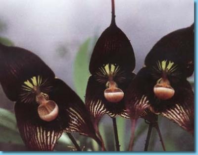 Presente la orquídea negra en Pinar del Río en