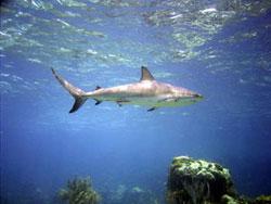 Alertan sobre peligros de extinción de tiburones en Centroamérica
