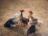Lidias de gallos en Cuba colonial
